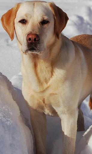 拉布拉多猎犬之谜