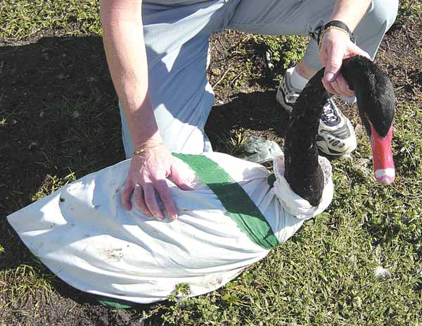 Large waterfowl can be wrapped in a pillowcase to restrain for travel