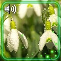 Snowdrops Flowers Spring icon
