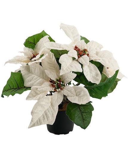 Julstjärna vit 23 cm