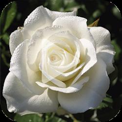 White Rose Video Wallpaper