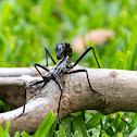 Scorpion Mimic Stick Insect