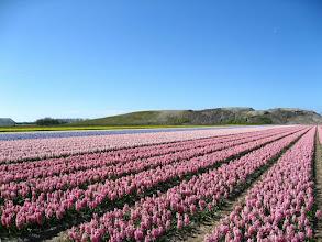 Photo: #007-Les champs de jacinthes dans les environs de Lisse.