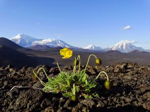 Photo: мак. альпийский. на фоне Толбачика, Зиминой и Б.Удины