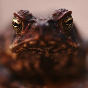 Cane Toad by Joe Wallace - Animals Amphibians