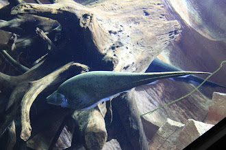 Photo: This odd shaped fish is a type of knife fish