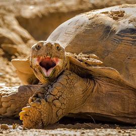 Land Tortoise by Dave Lipchen - Animals Reptiles ( land tortoise )