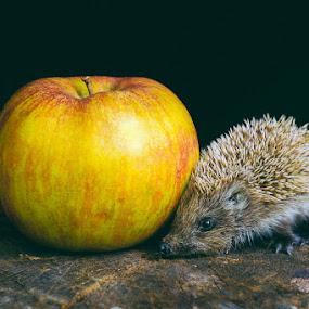 by Anna Trandeva - Animals Other Mammals ( hedgehog, apple )
