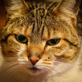 Nigella by Franco van Vuuren - Animals - Cats Portraits ( detail, cat, night, closeup, portrait )