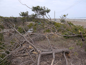 Photo: なぎ倒された防風・防潮林。