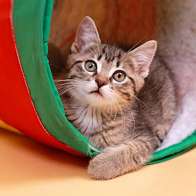 Tunnel of Fun by Ranee Rose - Animals - Cats Playing ( cats, animals, cat, kitten, tabby cat, playful, colorful, pets, whiskers, paws, kittens, cute, tabby )