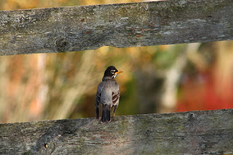 Photo: #BirdPoker : Magic hour curated by +Phil Armishaw  Male American Robin on an old fence, enjoying a warm spring sunset.