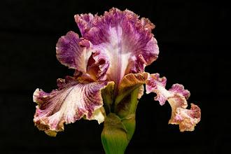 Photo: Original photo - ruffled violet iris