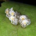 Leaf-footed bug hatchlings