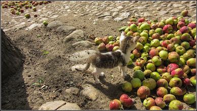 Photo: Măr (Malus), din Turda, Str. Salinelor, Nr.15, la curte, mere de vara cazute din cauza vantului - 2019.07.08