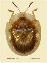 Photo: Metrionella bilimeki, 4,9mm, Costa Rica, La Cruz (11°07´/-83°36´), leg. Erwin Holzer, det. Lech Borowiec