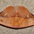 Dead leaf moth