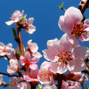 Peach blossom by Snezana Petrovic - Nature Up Close Flowers - 2011-2013 ( pure, macro, sky, nature, stamens, petals, blue, peach, flowers, garden, blossom, soft )