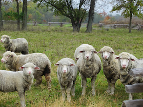 Photo: Herd of sheep staring at Carriage Hill Metropark in Dayton, Ohio.