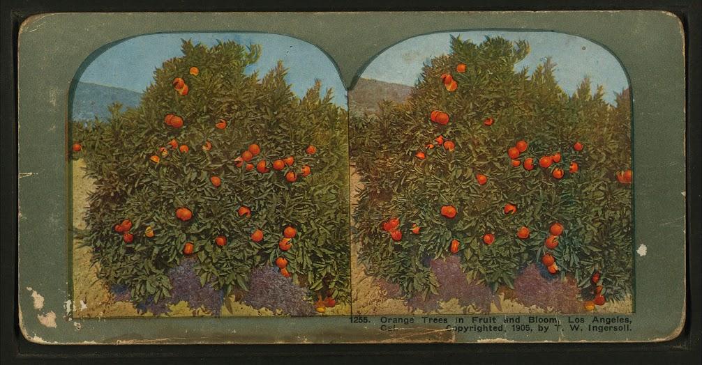 Truman Ward Ingersoll, diorama of an orange tree in Los Angeles