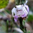 Flower Carb Spider