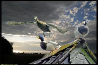 Photo: Klimaerwärmung und Atomenergie. Auch unsere Enten werden immer unheimlicher. Früher schwammen sie im quasselnd im Dorfteich, jetzt sitzen sie wie Gespenster nachts auf unseren Dächern und fliegen wie Fledermäuse.
