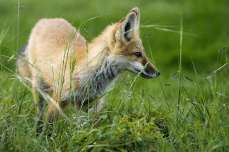 Photo: Fox kit playing on a July evening.