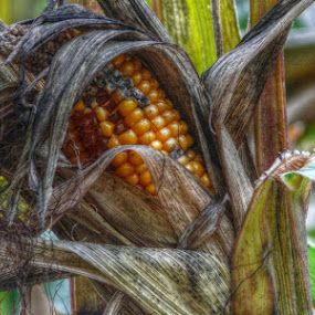 Bad corn by Dunja Dretvić - Food & Drink Fruits & Vegetables ( gold nutrition  bad dead agriculture  food   farm   field ruin vegetable corn yellow   insect weather farming  plant   nature )