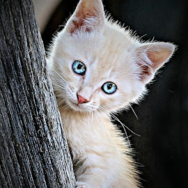 Lady Blue Eyes by Pieter J de Villiers - Animals - Cats Kittens