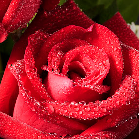 Red rose with water droplets in macro shot by Waraphorn Aphai - Flowers Flower Gardens ( macro, beautiful, waterdrops, natural, droplets, freshness, rose garden,  )