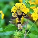 Snowberry clearwing (mating)