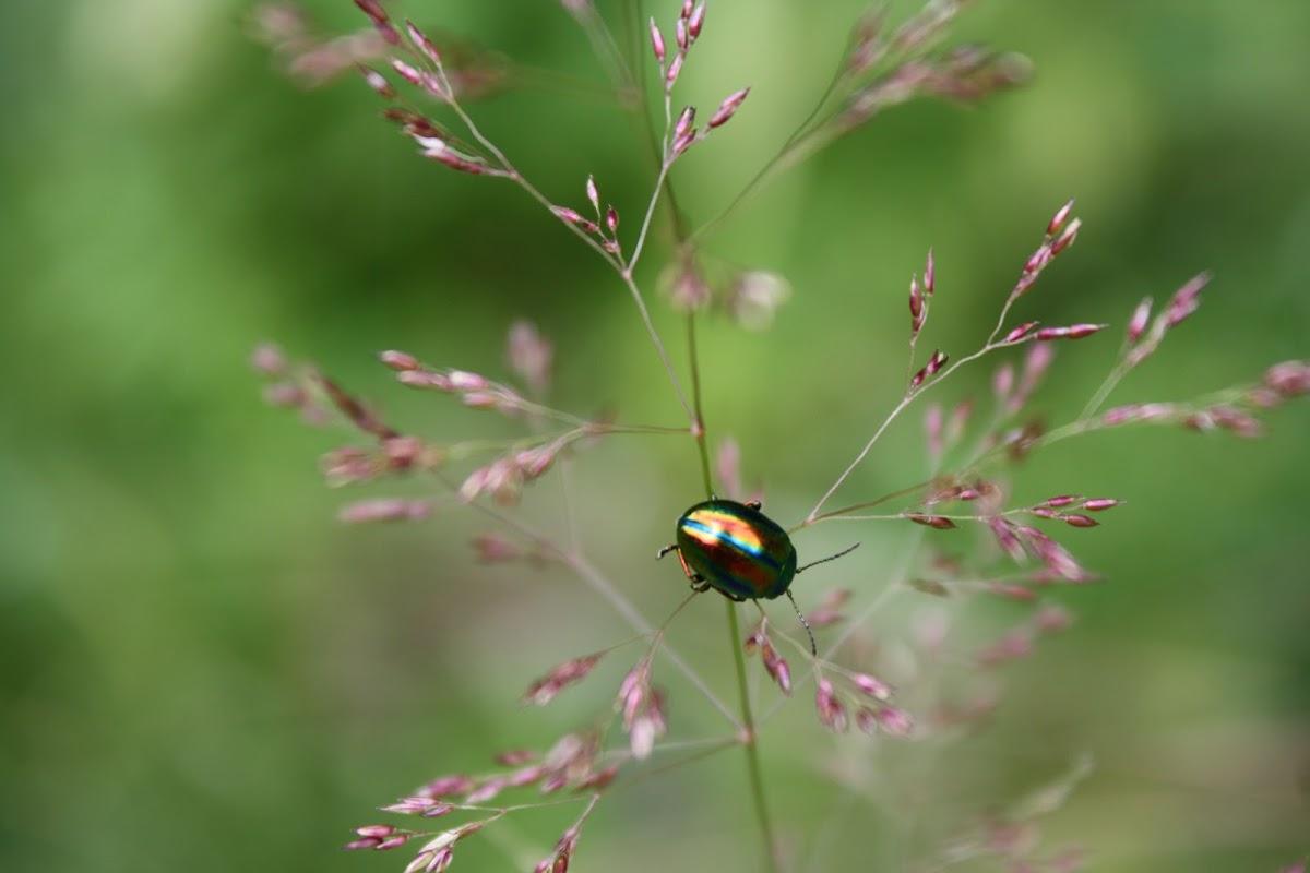 Golden Leaf-beetle