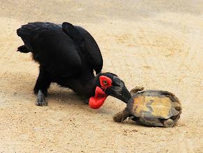 Photo: Hornbill die een schildpad vermoord