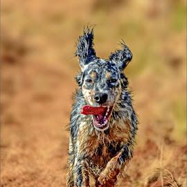 Run like a dog by Alida du Toit - Animals - Dogs Running