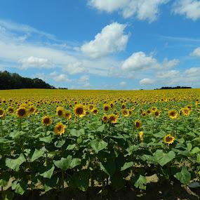 Looking Fine by Giles Perkins - Landscapes Prairies, Meadows & Fields ( field, colors, green, cloud, yellow, flower, sun )