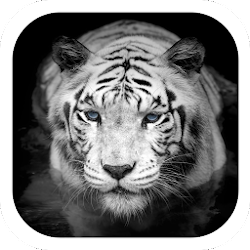 White tiger coolness theme