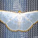 Silver Emerald Moth