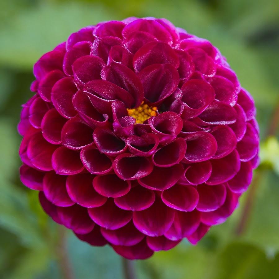 Dahlia 8681~ by Raphael RaCcoon - Flowers Single Flower