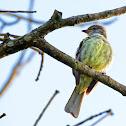 Guaracava-de-barriga-amarela (Yellow-bellied Elaenia)