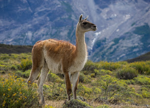 Photo: No need for a zoom lens when photographing guanaco (Lama guanicoe)