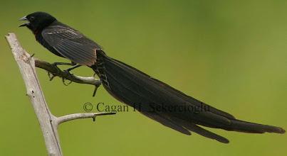 Photo: Red-collared Widowbird