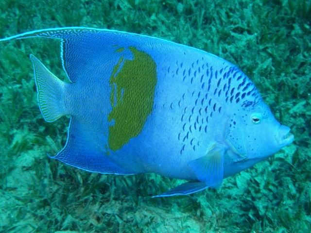 Photo: Poisson-Ange Géographe à Taba en Mer Rouge