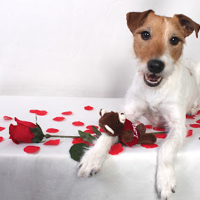 Will you be Mine? by Julie Anderson - Public Holidays Valentines Day ( holiday, jack, roses, dog, valentine )