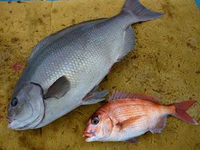 Photo: 一時、ゴミが道糸につかなくなった。チャンス!船頭さん早速、ダブルでキャッチ!真鯛とオナガ!オナガは3kg近くありました!
