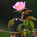 Dog rose; Escaramujo