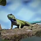 Green-spiny Lizard