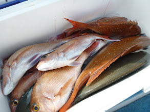 Photo: 釣果発表! シモカワさんの釣果です!真鯛、オナガ・・・そして!