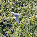 Whiskered Tern; Fumarel Cariblanco