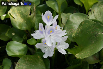 Photo: Kochuripana (water-hyacinth) in a village pond during the rainy seasons