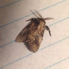 A Brown Moth ( Male )